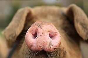 Schweinenase-a23874793